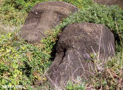 Non-native chocho weeds smothering two moai in the inner quarry. ©EISP/JVT/Photo: Alice Hom.