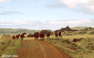 """Horses running along """"Brander's Road."""" ©1982 EISP/JVT."""