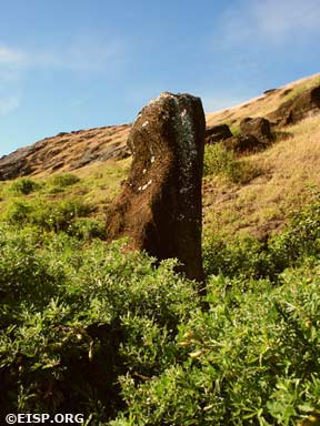 A moai engulfed in chocho bushes and partially covered by lichens. © EISP 2003.
